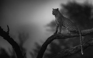 Linyanti Leopard, 2013