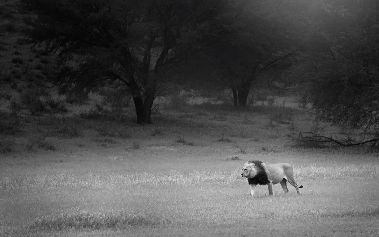 Black-mane-Kalahari-lion-Stephan-Tuengler