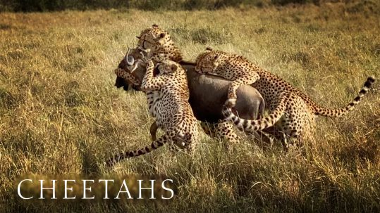 Coalition of five cheetahs bring down wildebeest.