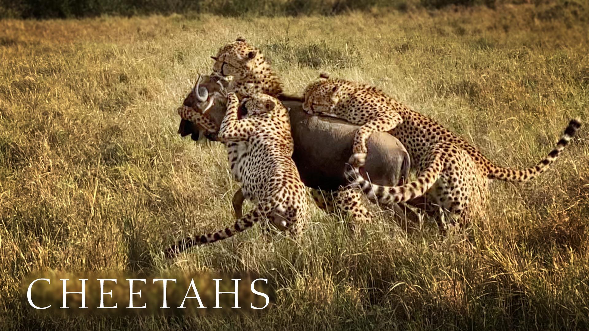 Coalition of five cheetahs bring down wildebeest.
