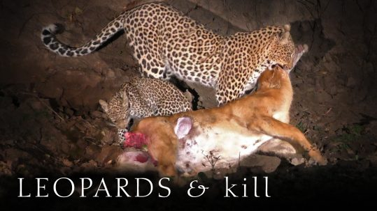 Leopard and cub feeding on a Puku antelope